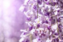 紫の藤の花