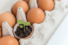 Plant In The Shell From The Egg