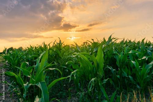 Slika na platnu Close-up Of Crops Growing On Field Against Sky During Sunset