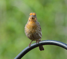 Front View Of A Yellow Male House Finch, Haemorhous Mexicanus, Perched On A Pole In A Suburban Garden.