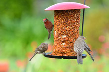 A Group Of House Finches Male And Female On A Feeder In A Suburban Garden.