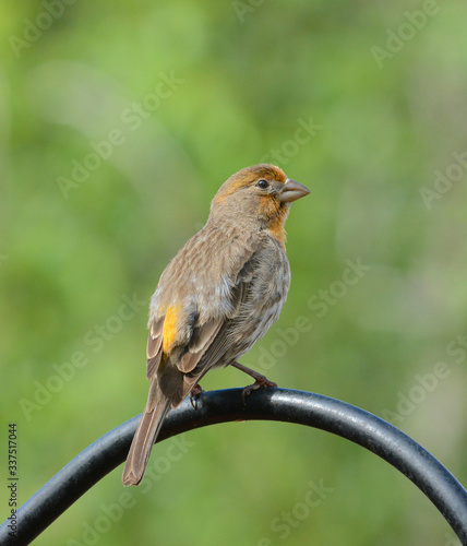 Back view of a yellow male House Finch, Haemorhous mexicanus, perched on a pole in a suburban garden.
