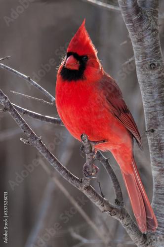 Canvastavla Male red cardinal on a branch
