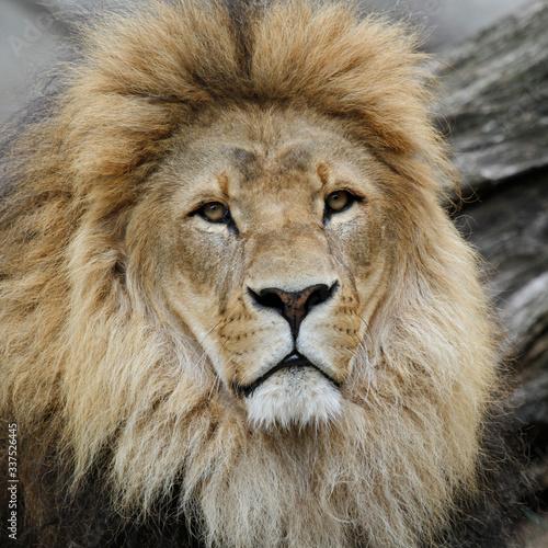 Photographie Close-up Portrait Of Male Lion