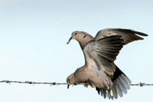 Low Angle View Of Mourning Doves Mating On Bared Wire Against Clear Sky