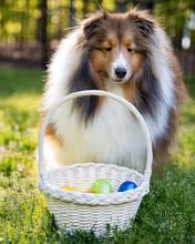 Shetland Sheepdog With Easter ...