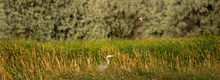 A Great Blue Heron In A Grassy Wetland Surrounded By Trees And A Swallow Flying Above At The Market Lake National Wildlife Management Area In Idaho In The Summer