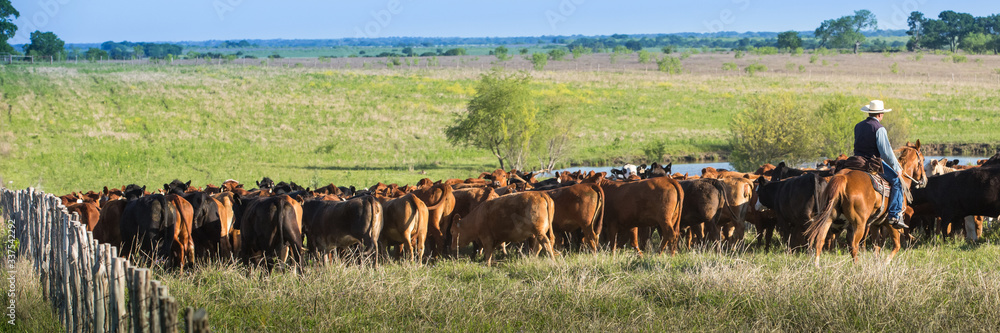 Fototapeta Cowboy moving cattle to new pasture on the ranch