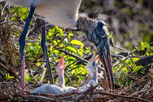 Hungry Baby Wood Storks With M...