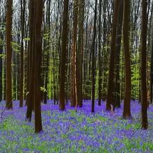 Purple Flower Trees In Forest