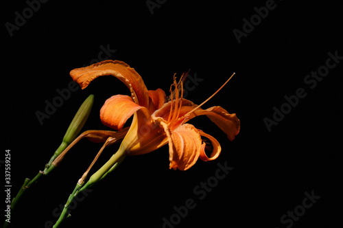 Fototapety, obrazy: Close-up Of Day Lily Against Black Background