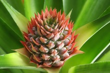Tropical Flower Of Pineapple C...