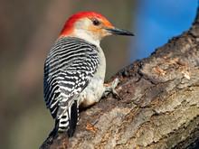 Red-bellied Woodpecker Scaling...