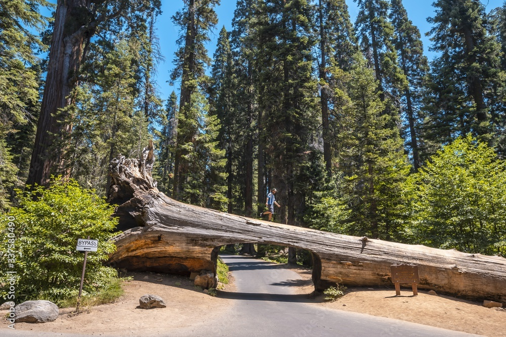 Fototapeta Beautiful shot of a person standing at the top of a tunnel log in Sequoia National Park, California