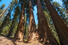 Sequoia Tree Forest In Sequoia...