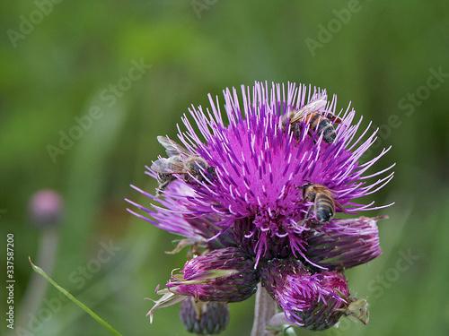 Fototapeta oset i pszczoła obraz