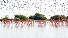 Royal Terns Flying Over Flamingos Standing In Sea