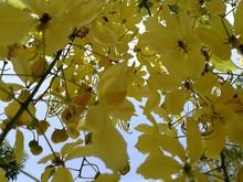 Close-up Of Yellow Flower, Cassia Fistula Flowers.