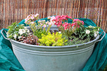 Beautiful Shabby Chic Metal Container With Flowering Lewisia Cotyledon, Sedum And White Jasmine Plants Infront Of A Wooden Fence With A Fleece For Shelter In The Frosty Weather.