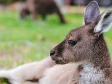 Close-up Of Kangaroo Resting On Field