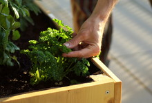 Picking Homegrown Parsley From...