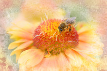 Yellow Gaillardia Grandiflora With Honey Bee, Textured Background