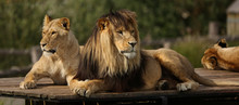 Close-up Of Lion And Lioness R...