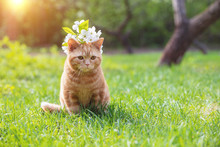 Portrait Of A Little Kitten With Cherry Flowers On The Head. The Cat Sits In A Spring Garden