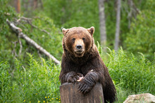 Brown Bear On Carcass. Brown B...