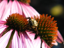 Close-up Of Insect Pollinating On Purple Coneflower