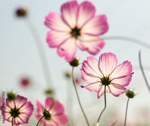 Fototapeta Close-up Of Pink Cosmos Flowers Blooming Outdoors obraz na płótnie