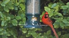Northern Red Cardinal Feeds On A Backyard Bird Feeder.