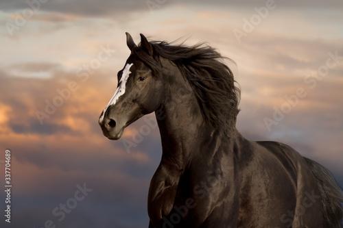 Fotografia Black horse portrait against blue sky