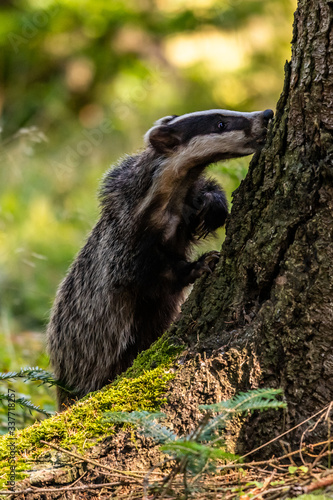 The Forest Badger (Meles Meles) in its typical drenching Canvas Print
