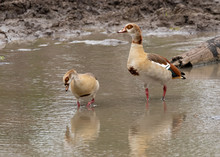 Two Egyptian Geese Standing In Water In  Mapungubwe National Park, South Africa