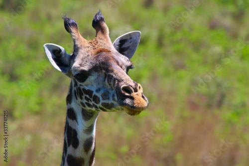 Giraffe in der Natur Wallpaper Mural