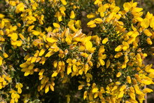 Ulex, Commonly Known As Gorse, Furze Or Whin, A Spiny Evergreen Shrub With Yellow Flowers, A Genus Of Flowering Plants In The Family Fabaceae.