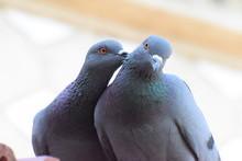 Pigeon Romance