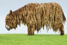 Long Haired Donkey
