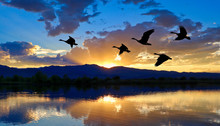 Canada Geese Flying Over A Lake At Sunset