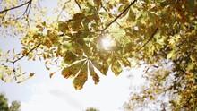 Nature: Chestnut Leaves On Tre...