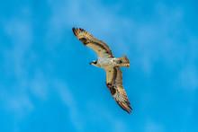 Osprey In Flight With Wings Spread