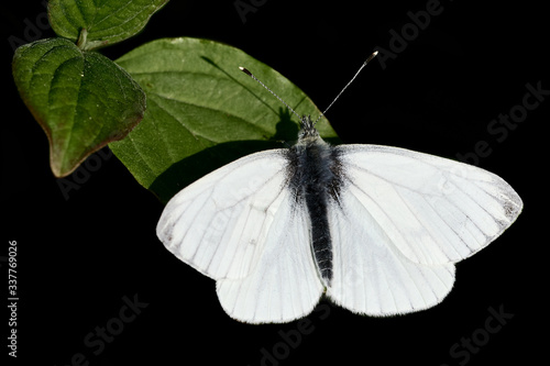 Male green-veined White (spring-brood butterfly, Pieris napi) resting on a green leaf and isolated on black background