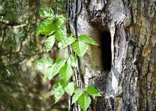 A Poison Ivy Vine On A Tree Wi...