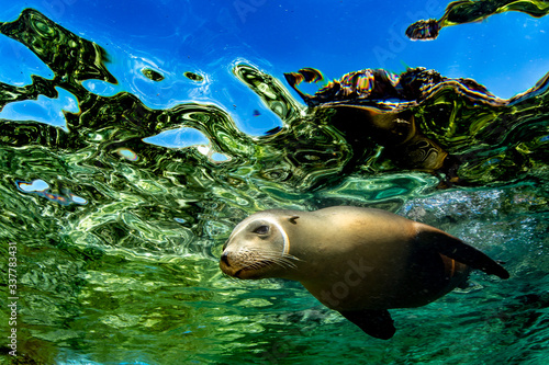 Fotografie, Tablou Sea Lion near the surface