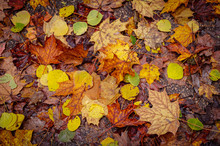 Fallen Autumn Leaves Scattered...