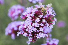 Bee On A Verbena Bonariensis, Purpletop Vervain, Clustertop Vervain, Argentinian Vervain, Tall Verbena, Pretty Verbena (in German Patagonische Eisenkraut) Verbena Bonariensis