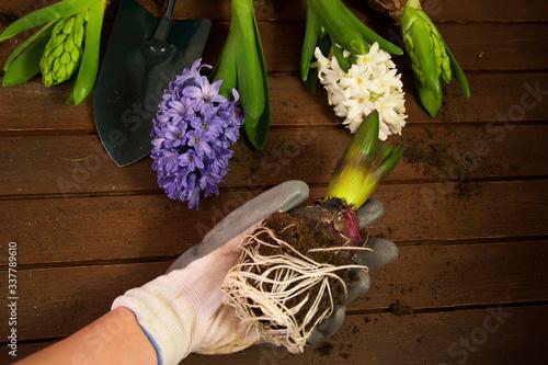 Obraz Sadzenie hiacyntów - fototapety do salonu