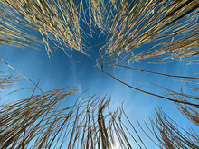 Field Of Dried Tall Grass Or C...
