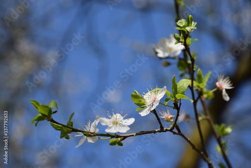 Tempo di primavera, rami dei alberi fioriti Wallpaper Mural